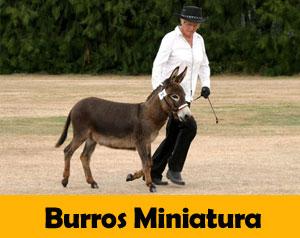 burros-miniatura