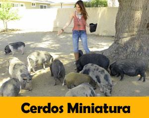 cerdos-miniatura